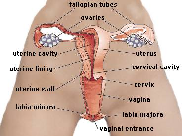 Internal view of the female sexual organs